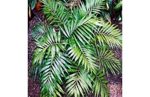 Chamaedorea (Chamédorée - Palmier de Montagne)