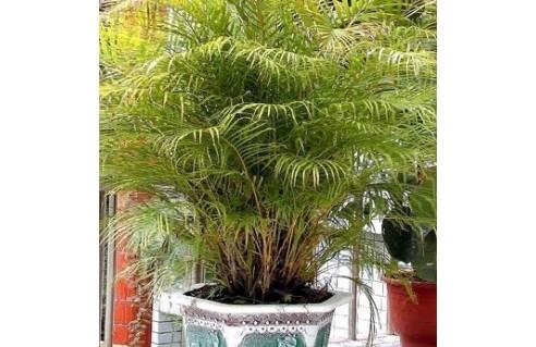 Chrysalidocarpus (Palmier d'Arec)