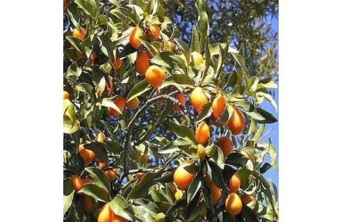 Citrus (Agrume)
