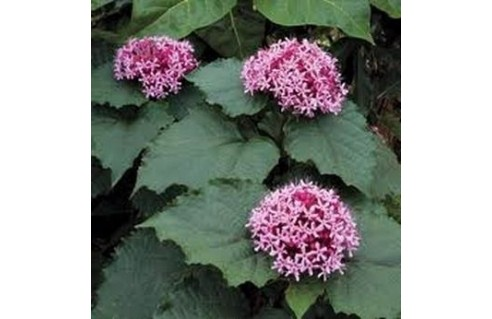 Clerodendrum (Clérodendron)