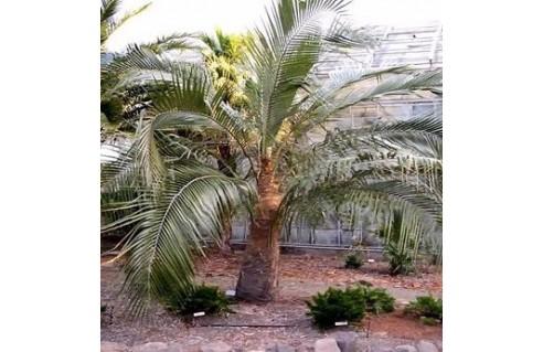 Cocotier de Bolivie (Parajubaea torallyi var. 'microcarpa')