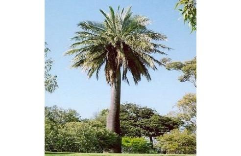 Cocotier du Chili, Palmier à miel (Jubaea)