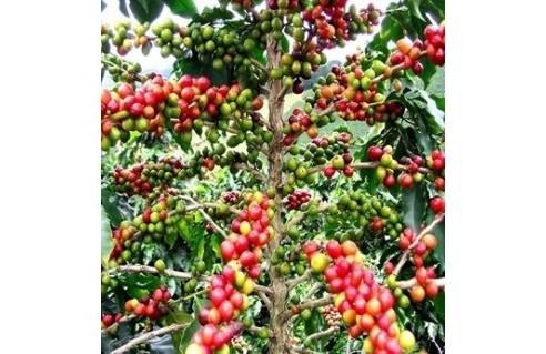 Coffea (Caféier - Café - arabica - robusta)