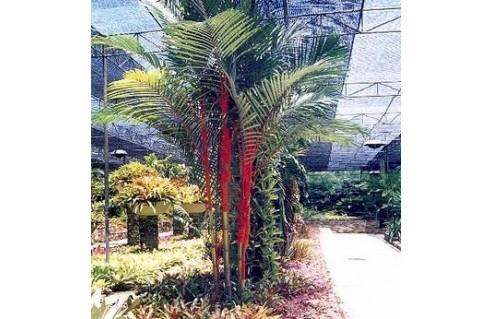 Cyrtostachys (Palmier à tronc rouge - Palmier rouge à lèvres)
