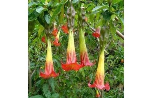 Datura arborescent (Brugmansia)