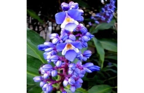 Dichorisandra (Gingembre bleu)