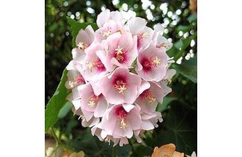 Dombeya (Hortensia en arbre)