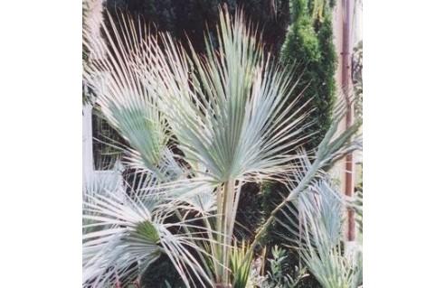 Erythea (Palmier bleu - Brahée - Palmier à feuille de zinc)