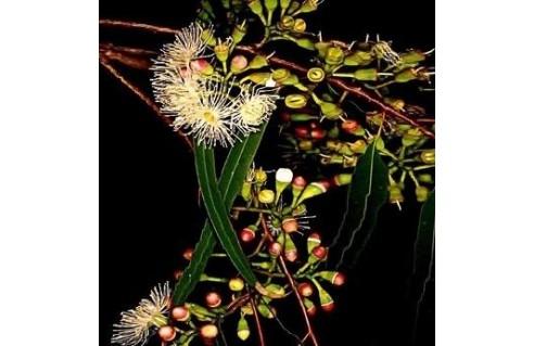 Eucalyptus (Gommier - Eucalyptus)