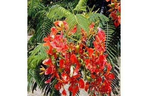 Flamboyant des Antilles (Delonix)