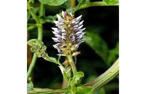 Glycyrrhiza (Réglisse)