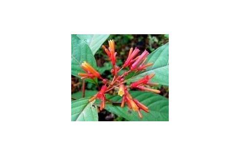 Hamelia (Buisson au colibri)