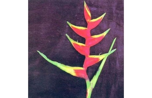 Heliconia (Balisier)
