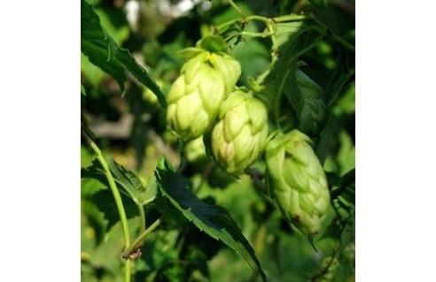 Houblon (Humulus)
