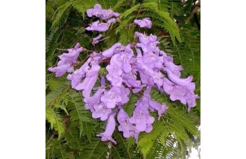Jacaranda (Flamboyant bleu)