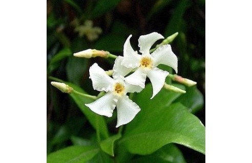 Jasmin étoilé (Trachelospermum)