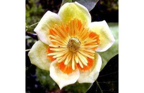 Liriodendron (Tulipier de Virginie)