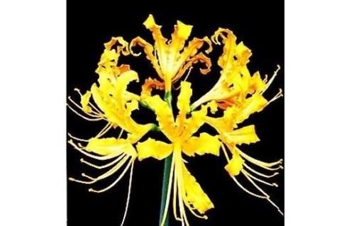 Lycoris (Lycoris)