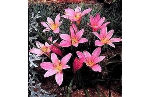 Lys Zéphyr (Zephyranthes)