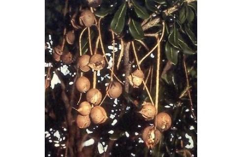 Macadamia (Noix de Macadamia)