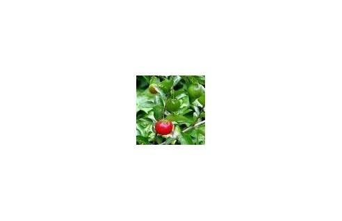 Malpighia (Cerisier des Antilles - Acérolier)