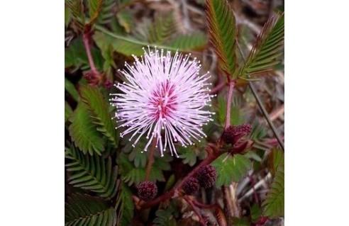 Mimosa (Sensitive)