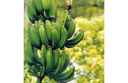 Musa (Bananiers)