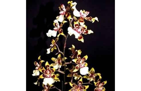 Odontoglossum hybride (Cambria)