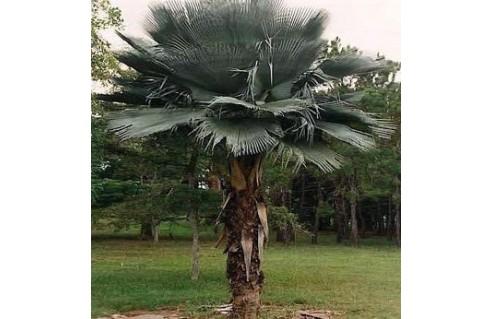 Palmier à cire (Copernicia)