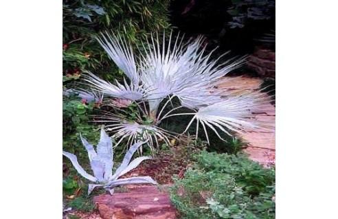 Palmier à feuille de zinc, Palmier bleu, Brahée (Erythea)