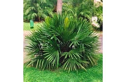 Palmier aiguille (Rhapidophyllum)