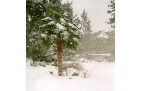Palmier chanvre, (Trachycarpus)