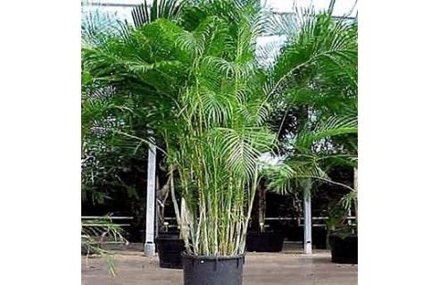 Palmier d'Arec (Chrysalidocarpus)