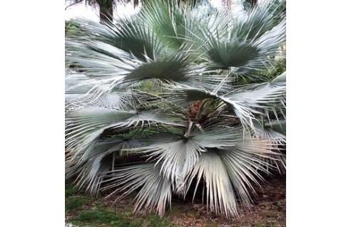Palmier de Guadalupe (Brahea)