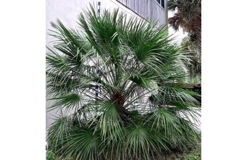 Palmier de Méditerranée, Palmier doum, Palmier nain (Chamaerops)