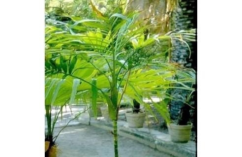 Palmier de Montagne, Chamédorée (Chamaedorea)