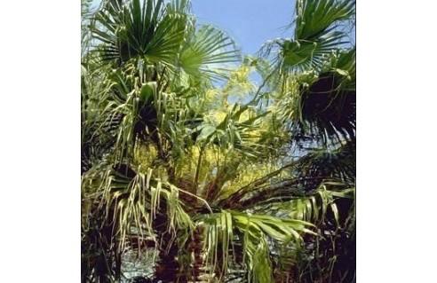 Palmier éventail (Livistona)