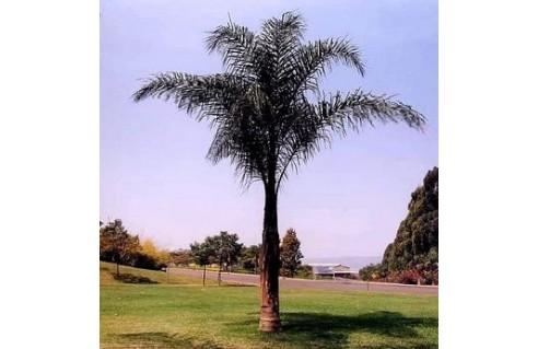 Palmier reine, Cocotier de Romanzoff (Syagrus)