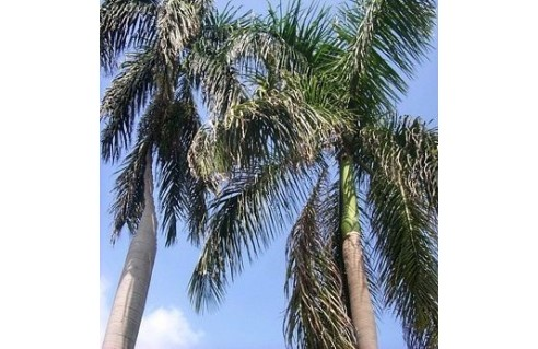Palmier royal de Cuba (Roystonea)