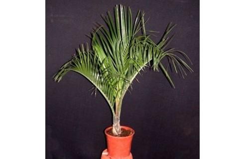 Palmier trièdre (Dypsis)