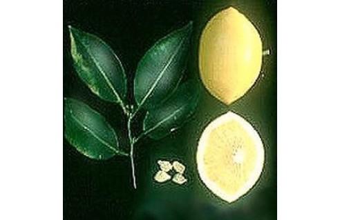 Pamplemoussier (Citrus x paradisii)
