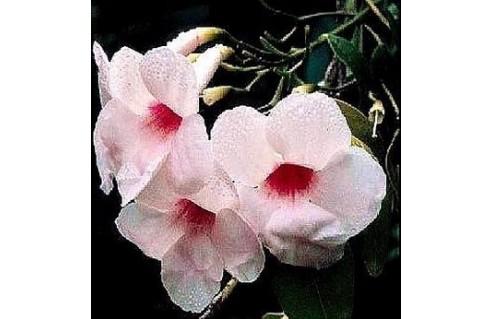 Pandorea (Bignone rose)