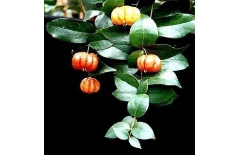 Pitanga, Cerisier de Cayenne (Eugenia)
