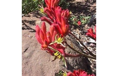 Plante Kangourou (Anigozanthos)