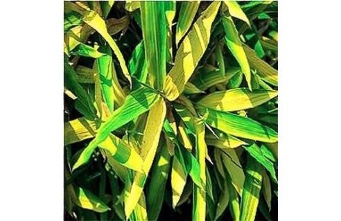Pleioblastus (Bambou nain)