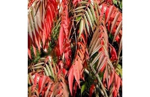 Rhus (Sumac de Virginie à feuilles découpées)