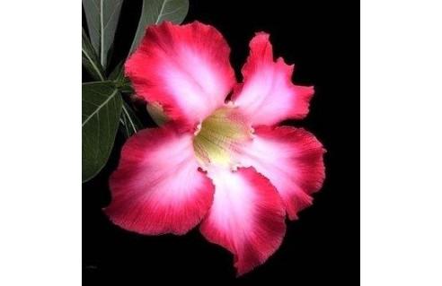 Rose du désert (Adenium)