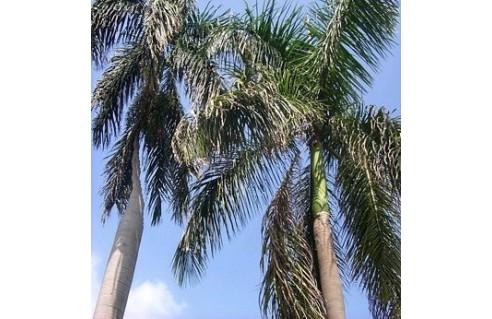 Roystonea (Palmier royal de Cuba)