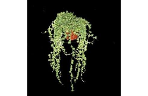 Séneçon de Rowley, Collier de perles (Kleinia)