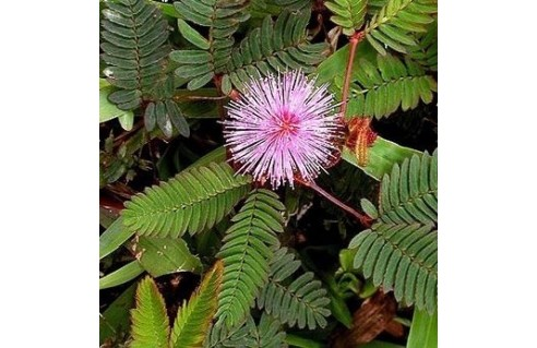 Sensitive (Mimosa)